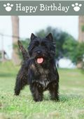 Cairn Terrier-Happy Birthday (No Theme)